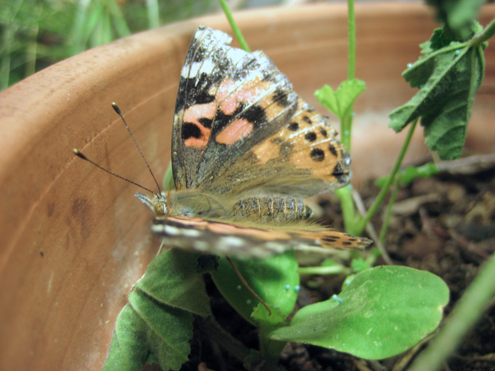Painted lady butterfly eggs hatch