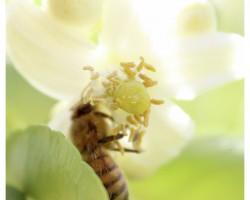 Bee collecting pollen from grapefruit flower.