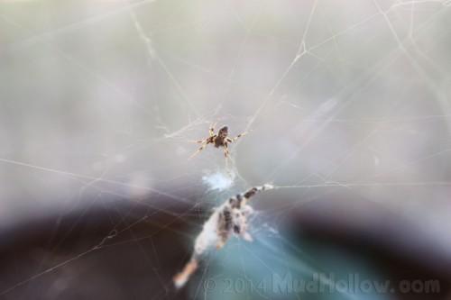 Spider Web | MudHollow.com